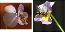 Tokina 100mm plus T1i / 500D Flower Fly macro photos by Nevada