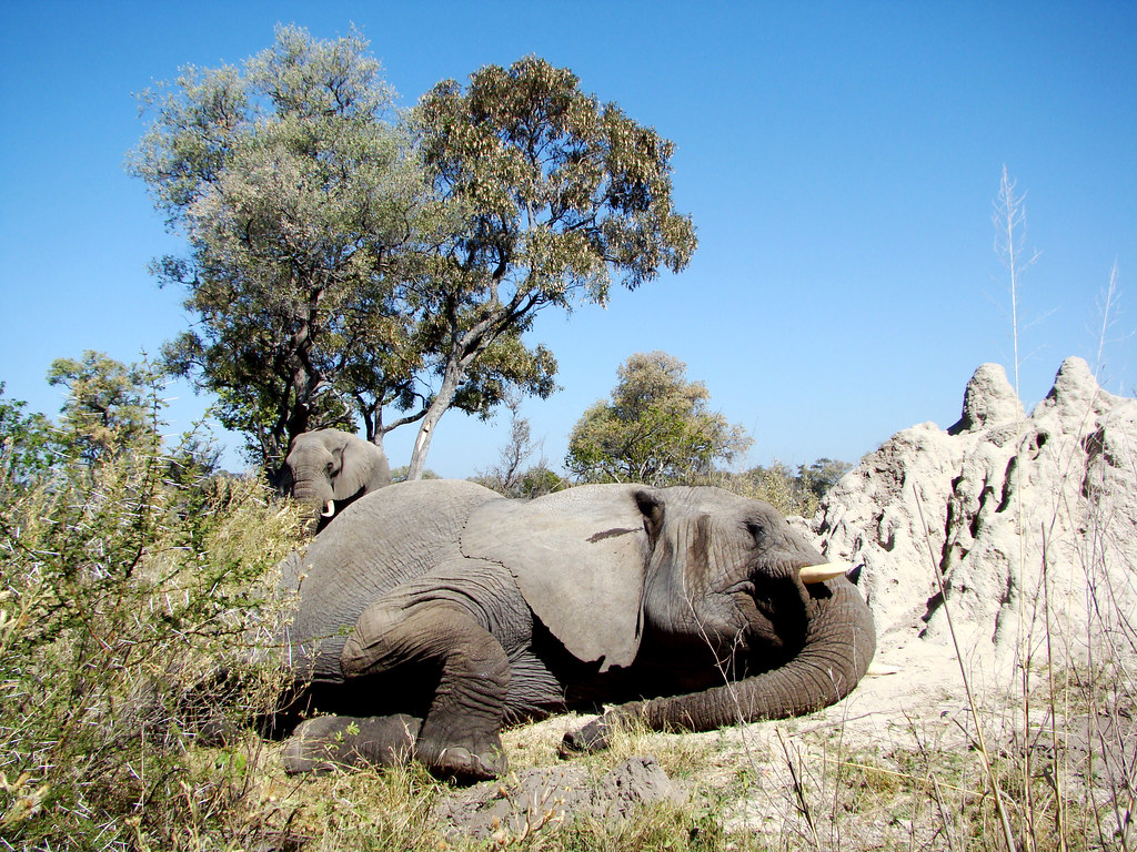 DSC08162 Elephant lying down on termite hill