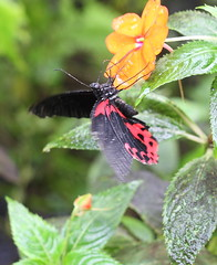 Tropical Butterfly House, Wildlife & Falconry Centre, North Anston (asw909) Tags: sheffield tropicalbutterflyhouse northanston