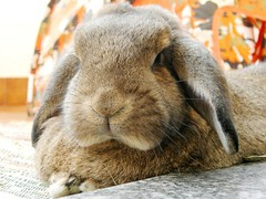 Pipolina (unaerica) Tags: italy hairy pet pets cute rabbit bunny bunnies nature beauty animals closeup fur outdoors nikon friend funny italia friendship princess sweet adorable fluffy happiness ears plush moustache occhi curious animali lapin tenderness mypet coniglio cuccioli kanin coniglietto lopears orecchie unaerica pipola coniglietta coniglietti