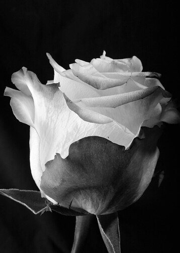 black and white photography roses. Black and White Rose