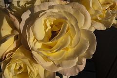 090927ros1 (Ringela) Tags: flower macro fleur june rose yellow garden sweden september panasonic 2009 lx3