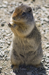 Ground Squirrel-Banff Natl. Pk (moelynphotos) Tags: canada nature animals squirrel wildlife groundsquirrel banffnationalpark canadianrockies moelynphotos rainbowelite