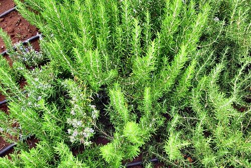 Rosmarinus officinalis (rq) - 02
