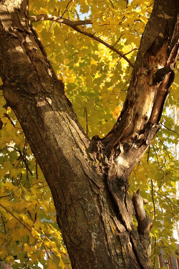 Tree Y