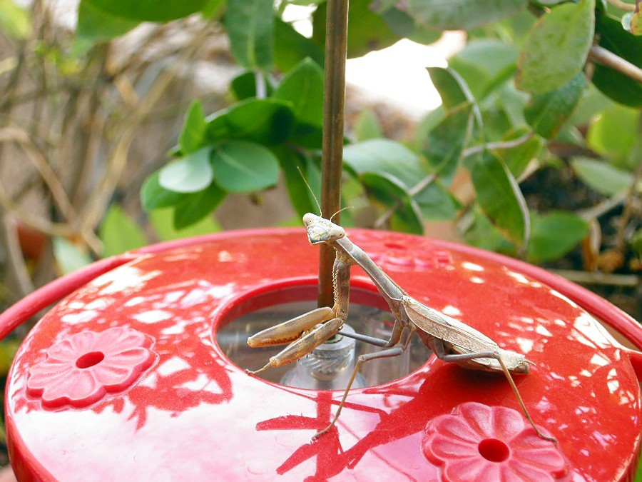 mantis Hummingbird feeder 1-3