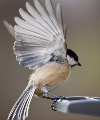 Chickadee bird opening wings
