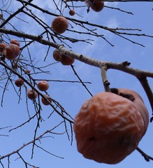 Persimmon fruits hanging from the tree (Diospyros virginiana)