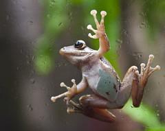 Tree frog at Universeum in Gothenburg revisited (Sina Farhat) Tags: original green photoshop canon göteborg rainforest raw sweden gothenburg sigma crop sverige 28 treefrog 30d heden cs4 universeum adobecameraraw 2470 revisit återbesök regnskogen