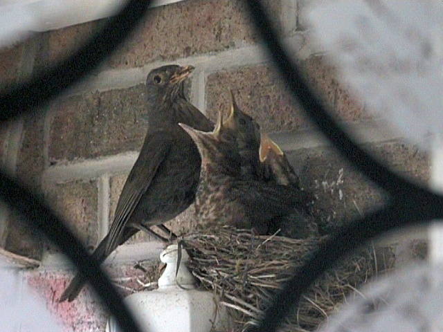 Blackbirds nest in porch