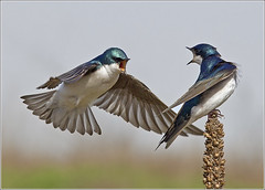 Tree Swallows - (April 2010) (Malcolm Benn) Tags: ontario canada bird swallow 2010 treeswallow specanimal thewonderfulworldofbirds mgbenn malcolmbenn