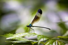 Taiwan endemic damselfly() (Sharleen Chao) Tags: light color macro nature canon insect bokeh taiwan 100mm  biology damselfly yilan     psolodesmusmandarinusmandarinusmclachlan1870 canoneos550d