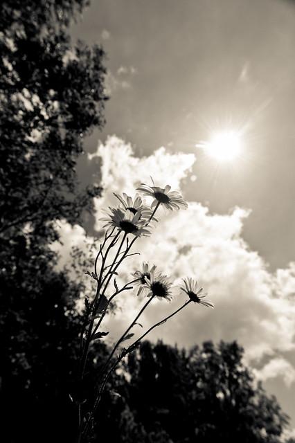 Dasies Towards the sun