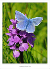 Common Blue Butterfly (Paul_Wheeler) Tags: uk pink blue orchid male nature closeup butterfly insect cornwall britain wildlife small southern british marsh icarus common dactylorhiza polyommatus praetermissa