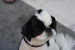 FoDog (Pernille Mller) Tags: dog cool hipster fohawk distortion2011