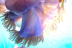 Pink (samuelito5277) Tags: ocean california pink light beautiful aquarium cool san francisco purple pentax awesome anemone organic academy sciences steinhart cotcmostinteresting k200d