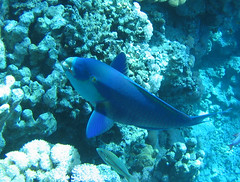 137_3752 (LarsVerket) Tags: egypt snorkling fisk undervannsfoto