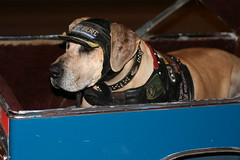 leather greatdane harley harleydavidson lakeworth