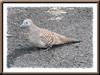 Geopelia striata (Zebra Dove)