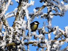 Great Tit (Parus major) (http://www.bangladeshinside.com) Tags: bird germany garden nikon searchthebest herfst tuin greattit parusmajor hawthorn koolmees naturesfinest meidoorn outstandingshots specanimal animalkingdomelite colorphotoaward impressedbeauty sawyoufirst avianexcellence megashot diamondclass thegoldendreams dedoka