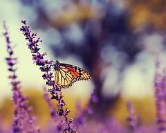 the happymaker (*Karo*) Tags: butterfly dallas arboretum explore archives explorefrontpage 105mmf28gvrmicro cinnamonactions