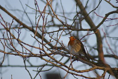 One Fat Robin (Mortarman101) Tags: cold bird robin naturesfinest mywinners abigfave theperfectphotographer