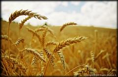 Wheat field (-Roge-) Tags: naturaleza field wheat depthoffield amarillo campo trigo espigas profundidaddecampo