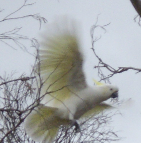 Sulphur crested cockatoo in flight