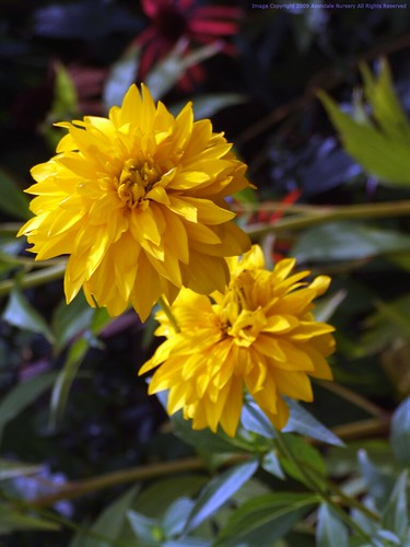 RUDBECKIA laciniata 'Hortensia'
