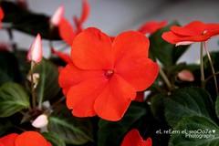 رَ نّ ة ~ تَ نْ ب ي هْ (eL reEem eL sro0o7e ♥) Tags: red flower islam uae valentine emirates abudhabi elreeem elsrooo7e