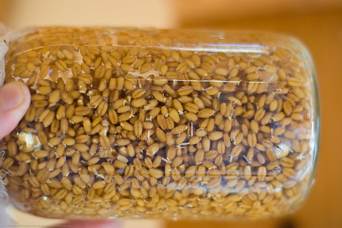 Raw Food: sprouting wheat berries