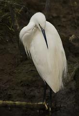 Preening (Chalto!) Tags: bird heron hampshire egret newforest pennington 15challengeswinner