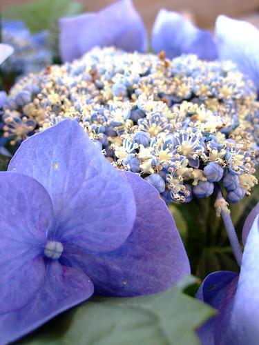 la flora violeta