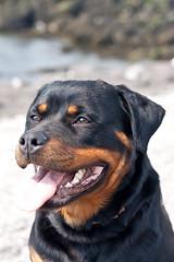 We-Belgium-Netherlands-8291 (PauloRibeiro) Tags: dog chien netherlands weekend rottweiler vlissingen rotti