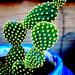 Opuntia Cactus (Opuntia microdasys)