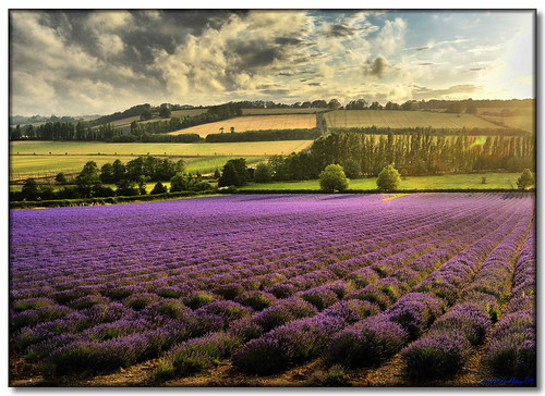 EVENING LAVENDER by mickeydud