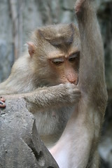 Monkey Fleas (Miss Tanith) Tags: cute animal animals asian monkey furry asia cambodia cambodian earth leg biting hate ugly bite monkeys erika flea knee fleas tanith blighter kampuchea blighters erikatanith monkys ihatemonkeys earthasia monkeysscareme