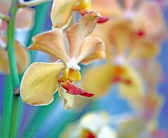 secret music of dawn (xeno(x)) Tags: macro nature canon garden asia orchids 2009 xeno 5d2