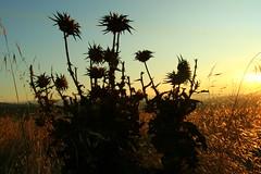 Artichoke Thistle (John-Morgan) Tags: california sunset white flower green silhouette canon desert thistle wideangle sharp prickle 1740mml shellridge johnmorgan