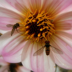 tea for two (perseverando) Tags: pink flowers flower macro closeup naturesfinest hoverflies abigfave diamondclassphotographer flickrdiamond macromarvels perseverando