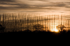 English treeline at sunset