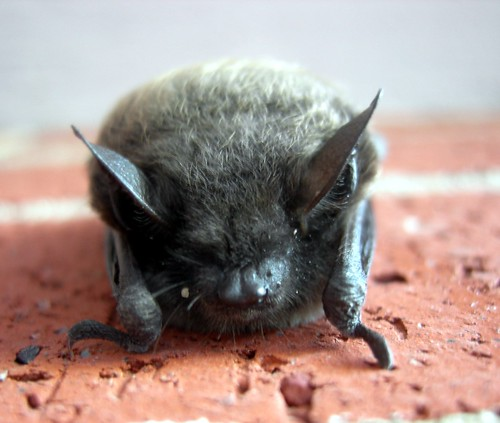 Another little brown bat