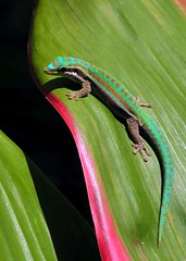 colour match phelsuma (Mauritius100) Tags: ocean colour green nature fauna island reptile indian indianocean lizard tropical gecko mauritius endemic indien ocan phelsuma ilemaurice mascareignes cepediana mauritius100