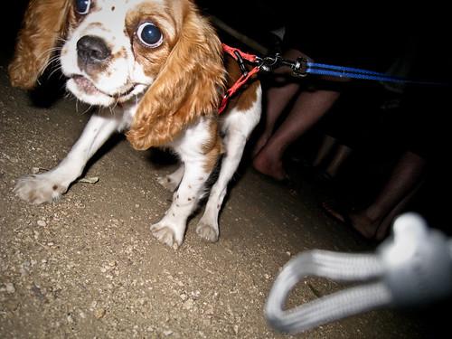 Franklin Puppy