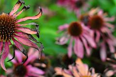 end of the season (Joie de Vivre) Tags: flower green purple echinacea