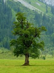 Sycamore Maple - Bergahorn (Claude@Munich) Tags: mountain alps tree geotagged austria tirol österreich maple berge sycamore pasture acer alm alpen plain alp baum tyrol eng tal karwendel acerpseudoplatanus ahorn ahornboden laubbaum claudemunich sycamoremaple vomp ostalpen bergahorn treesubject hinterriss bigmapleplain alpineparkkarwendel groserahornboden geo:lat=47400528 geo:lon=11564398