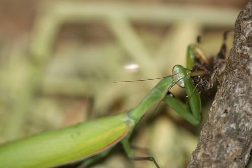 Praying Mantis Eating Spider Praying Mantis Eating