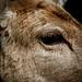 Virginia Deer Photo 13
