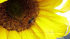 Merhaba : )  # Explore (Gne ER | www.guneser.com) Tags: hello sun yellow canon turkey trkiye bee honey sunflower hi bal iek gne sar ar merhaba tokat ayiei canoneos450d flickrlovers gneer