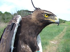 Long-Crested Eagle (birdringer) Tags: eagles